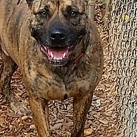 Boxer/Labrador Retriever Mix Dog for adoption in Gainesville, Georgia - Tiger