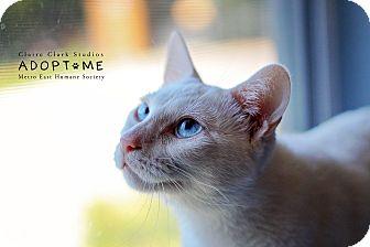 Domestic Shorthair Cat for adoption in Edwardsville, Illinois - Ava