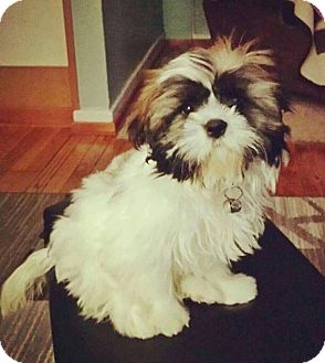 Shih Tzu Puppy for adoption in Fort Atkinson, Wisconsin - Sunny