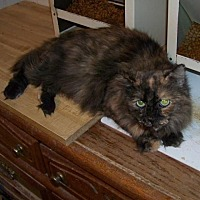 Adopt A Pet :: Luna - Glendale, AZ