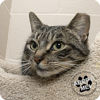 Domestic Shorthair Cat for adoption in Troy, Ohio - Gracie
