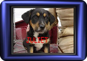 Beagle Mix Puppy for adoption in Cushing, Oklahoma - x JUILET adopted