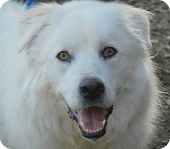 Great Pyrenees Dog for adoption in Granite Bay, California - JASMINE