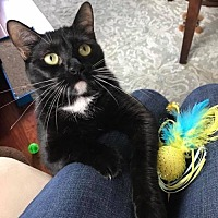 Bombay Cat for adoption in Pensacola, Florida - Evie