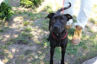 Pit Bull Terrier Mix Dog for adoption in Greensboro, North Carolina - Nina