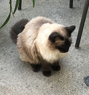 Siamese Cat for adoption in Chico, California - Muffin