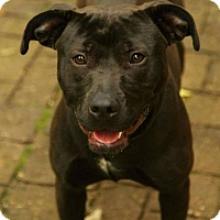 Pit Bull Terrier Mix Dog for adoption in Lafayette, Indiana - Stella