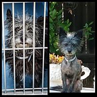 Adopt A Pet :: Pebbles - San Dimas, CA