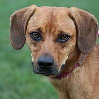 Adopt A Pet :: Hank - St. Charles, MO