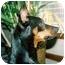 Photo 1 - Miniature Pinscher Dog for adoption in Florissant, Missouri - Diesel