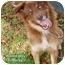 Photo 1 - Australian Shepherd Mix Dog for adoption in Boca Raton, Florida - Rocky