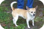 Chihuahua Mix Dog for adoption in Summerville, South Carolina - Lulu