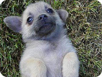 Pomeranian Mix Puppy for adoption in Hesperus, Colorado - NALA