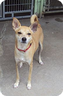 Chihuahua Mix Dog for adoption in Atchison, Kansas - Chief