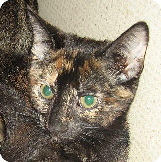 Domestic Shorthair Kitten for adoption in Hamilton, New Jersey - FIONA-2012