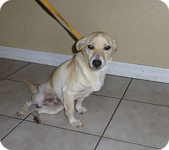 Dachshund Mix Puppy for adoption in Oviedo, Florida - Dan