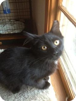 Maine Coon Cat for adoption in Cleveland, Ohio - Colt