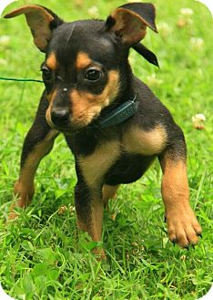 Jack Russell Terrier/Chihuahua Mix Puppy for adoption in Portland, Maine - Mikey