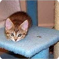 Adopt A Pet :: Ringo - Alexandria, VA