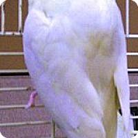 Adopt A Pet :: Sweetie - Lenexa, KS