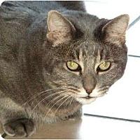 Adopt A Pet :: Jinks - loves men/British - Scottsdale, AZ