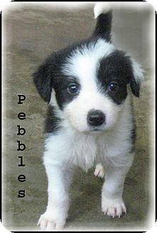 Border Collie/Tibetan Terrier Mix Puppy for adoption in Marlborough, Massachusetts - Pebbles- A Bundle of Joy!