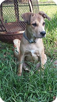 Black Mouth Cur Mix Dog for adoption in Humble, Texas - Fawn