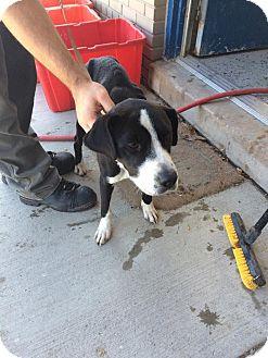 Labrador Retriever Mix Dog for adoption in Hazel Park, Michigan - Celeste