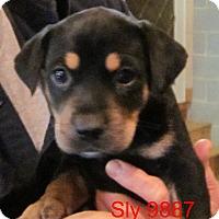 Adopt A Pet :: Sly - Greencastle, NC
