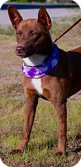Australian Cattle Dog Mix Puppy for adoption in Spring Valley, New York - Cocoa