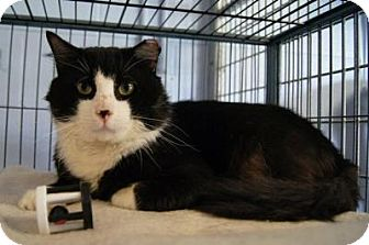 Domestic Shorthair Cat for adoption in New Milford, Connecticut - Bogart- Come see me at Petco!