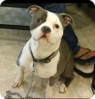 American Staffordshire Terrier Mix Dog for adoption in Warrenville, Illinois - Diesel