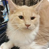 Adopt A Pet :: Mello (Melody) Yellow - Harrisburg, NC