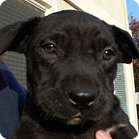 Adopt A Pet :: Baby Oh Henry! - Oakley, CA