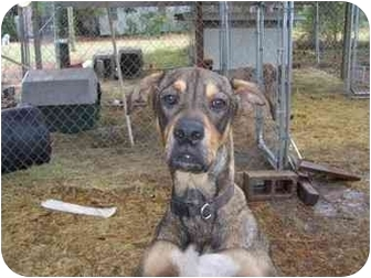 American Bulldog/Retriever (Unknown Type) Mix Dog for adoption in Donalsonville, Georgia - Desi