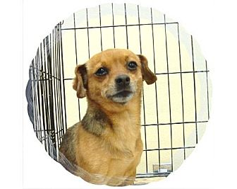 Chihuahua Mix Dog for adoption in Las Vegas, Nevada - Minnie