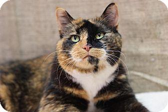 Domestic Shorthair Cat for adoption in Midland, Michigan - Chenequa