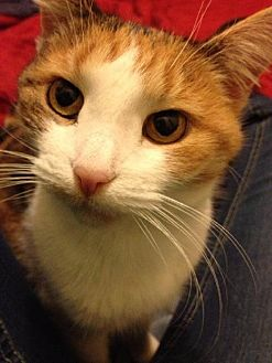 Calico Cat for adoption in Columbus, Ohio - Callie