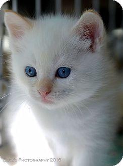Siamese Kitten for adoption in Rocklin, California - Quartz