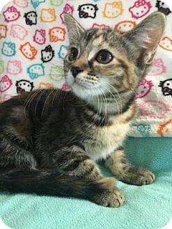 Domestic Shorthair Kitten for adoption in Fountain Hills, Arizona - WENDY