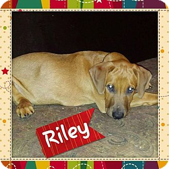 Hound (Unknown Type)/Labrador Retriever Mix Puppy for adoption in Sumter, South Carolina - Riley