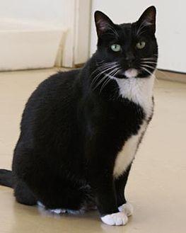 Domestic Shorthair/Domestic Shorthair Mix Cat for adoption in Morgan Hill, California - Sylvia