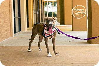 American Pit Bull Terrier Mix Dog for adoption in Dawson, Georgia - Sweetie