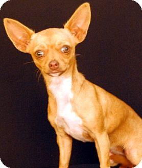 Chihuahua Dog for adoption in Newland, North Carolina - Lexi
