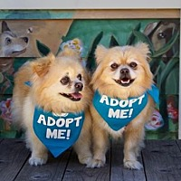 Adopt A Pet :: Sampson Pom - Pacific Grove, CA