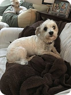 Bichon Frise/Yorkie, Yorkshire Terrier Mix Dog for adoption in Baltimore, Maryland - Celeste