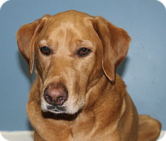 Labrador Retriever/Poodle (Standard) Mix Dog for adoption in Lisbon, Iowa - Buddy