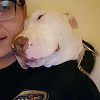Adopt A Pet :: Asuna  Staffordshire-Bull Terrier mix - Arlington, WA