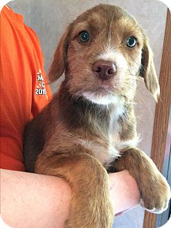 Wirehaired Pointing Griffon/Terrier (Unknown Type, Medium) Mix Puppy for adoption in Kittery, Maine - Maverick
