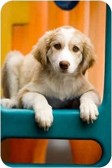 Australian Shepherd Mix Puppy for adoption in Portland, Oregon - Onion